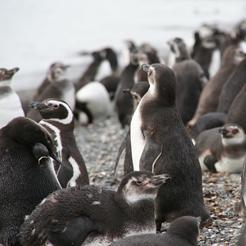 Les Pingouins de Terre de feu
